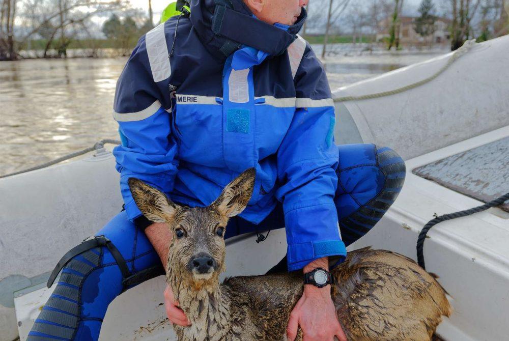 sauvetage d'un chevreuil par un gendarme